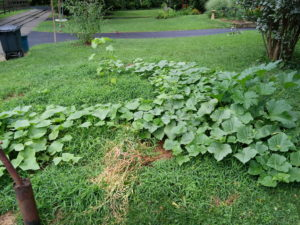 Here are the Cucumber plants